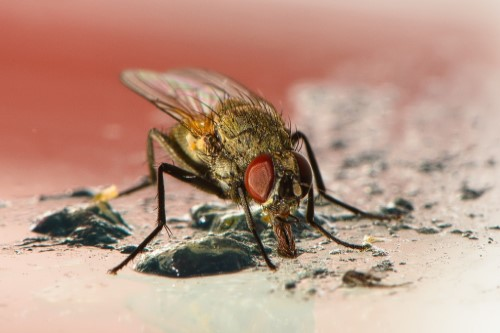 Image of fly. Fly pest control.