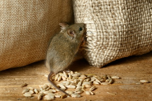 Image of rodent eating grain. Rodent pest control.